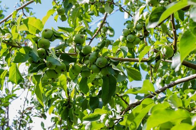 Poires fraîches vertes poussant sur un arbre. poirier aux poires.