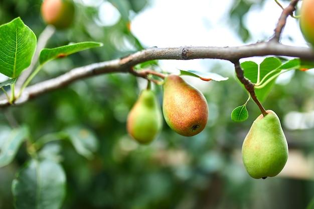 Poires mûres biologiques dans le jardin d'été, récolte d'automne