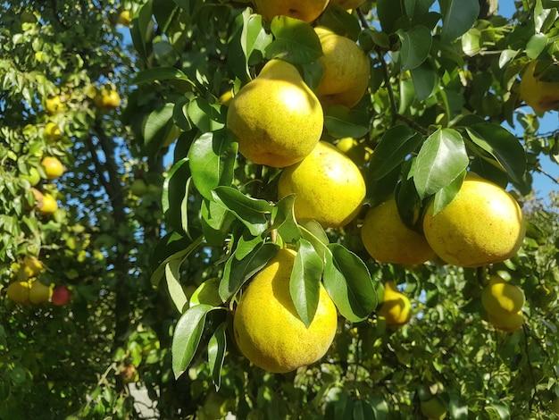 Poires mûres sur une branche d'arbre dans le jardin.