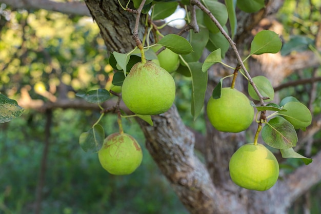 Poires vertes sur branche, poirier avec poires juteuses crues