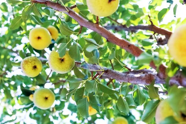 Poirier au soleil dans le jardin. récolte de poires