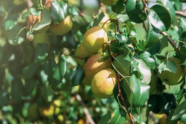 Poirier aux fruits