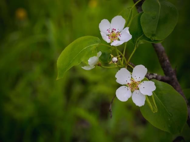 Poirier en fleurs. fond d'été. printemps. branche fleurie