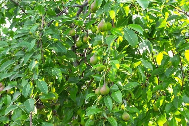 Poirier avec jeunes fruits immatures verts un jour d'été avec une copie de l'espace