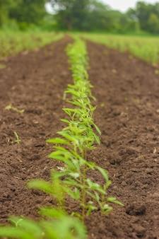 Pois d'angole dans le domaine agricole