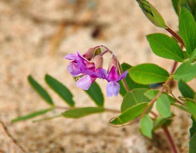 Pois de senteur à terre mer blanche, plante à fleurs du genre lathyrus de la famille des fabacées
