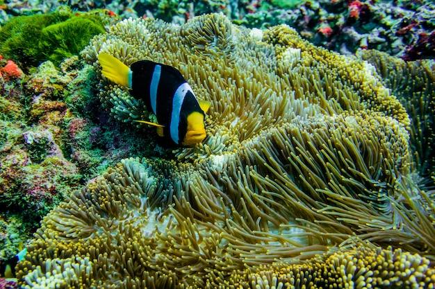 Poisson anémone clown en mer de thaïlande
