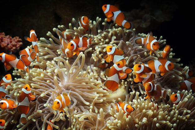Poisson anémone sur le récif de corail