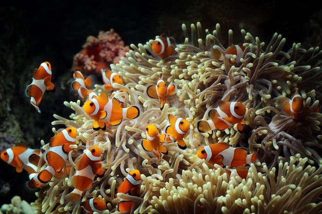 Poisson Anémone Sur Le Récif De Corail Photo Premium