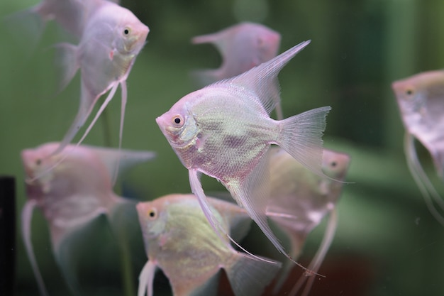 Poisson-ange (ange argenté, poisson-ange d'eau douce, poisson-ange commun) dans un aquarium
