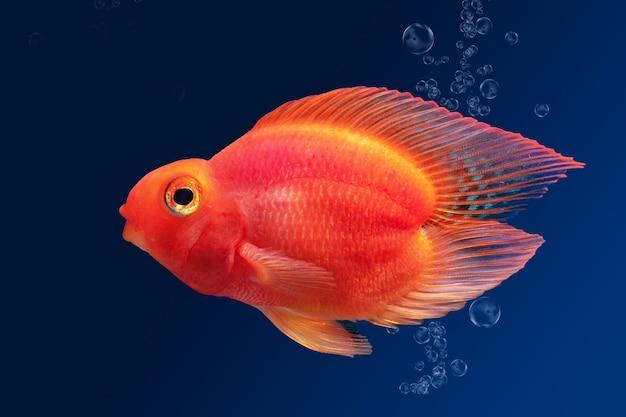 Poisson d'aquarium perroquet rouge sur fond bleu