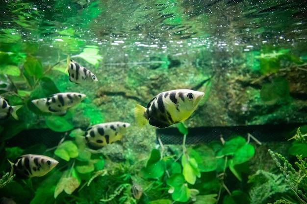 Poisson archer dans l'aquarium