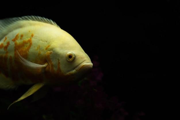 Poisson astronotus ocellatus également connu sous le nom de poisson oscar isolé sur noir