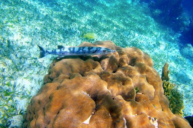 Poisson barracuda sur moulinet de corail sur la riviera maya