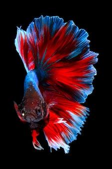Poisson betta bleu rouge isolé sur fond noir