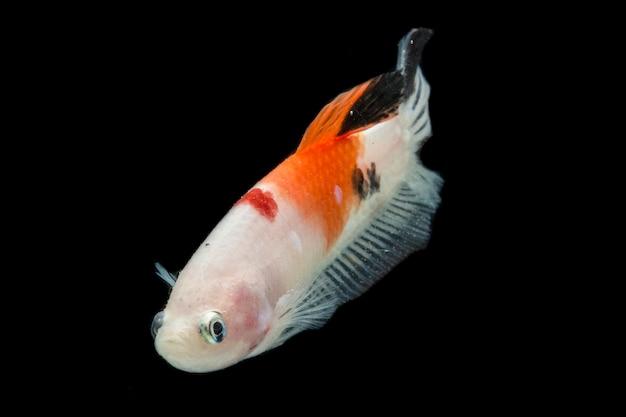 Poisson betta coloré. beaux poissons de combat siamois, base jaune nemo isolée sur fond noir.
