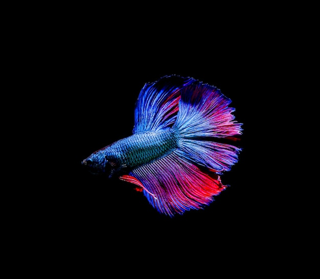 Poisson betta, combats siamois, betta splendens isolés