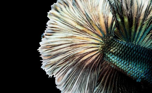 Poisson betta demi-lune, poisson de combat siamois, betta splendens