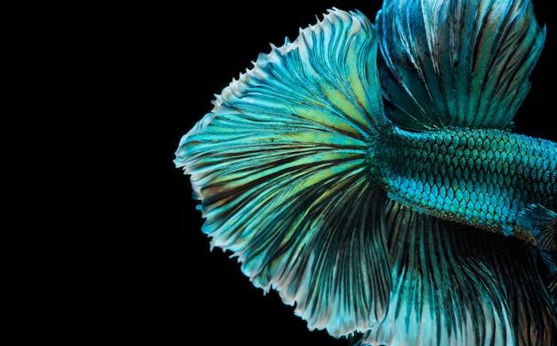 Poisson betta demi-lune, poisson de combat siamois, capture en mouvement du poisson, fond abstrait de la queue de poisson