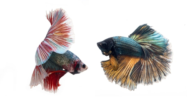 Poisson betta demi-lune, poisson de combat siamois, capture en mouvement de poisson, arrière-plan abstrait de queue de poisson