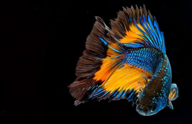 Poisson-betta demi-lune, poisson combattant siamois, capture de poisson en mouvement, betta splendens