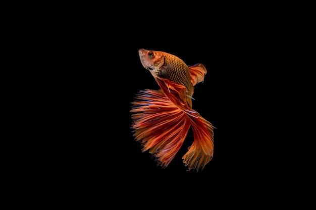 Poisson betta demi-lune poissons de combat chinois poissons de combat rouges isolés