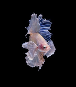 Poisson betta halfmoon