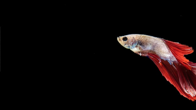 Poisson betta isolé avec queue nageant et espace de copie