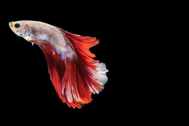 Poisson betta isolé avec queue nageant