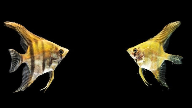 Poisson betta jaune de combat siamois en miroir