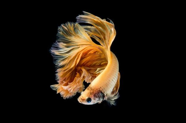 Poisson betta en or jaune, poisson de combat siamois sur fond noir