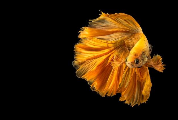 Poisson betta d'or, poissons de combat, poissons de combat siamois isolés sur fond noir