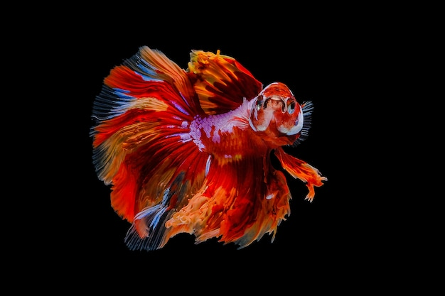 Poisson betta orange