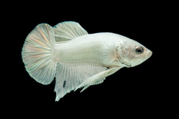 Poisson betta platine blanc, poisson de combat siamois sur fond noir