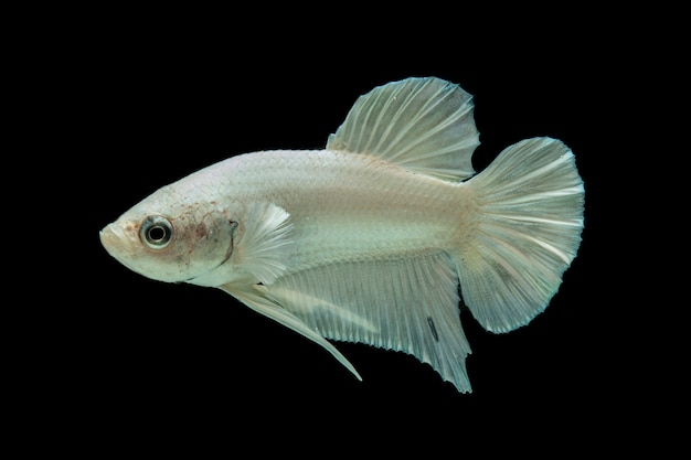 Poisson Betta Platine Blanc, Poisson De Combat Siamois Sur Fond Noir Photo Premium