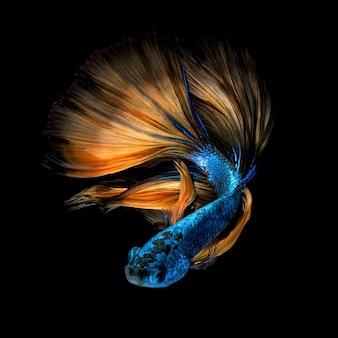 Poisson betta ou poisson de combat siamois sur fond noir