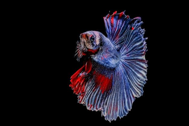 Poisson betta, poisson de combat siamois sur fond noir
