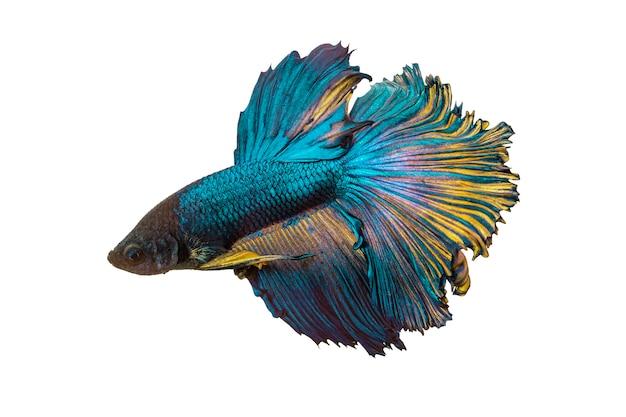 Poisson betta, poisson de combat siamois, isolé sur blanc
