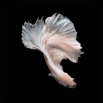 Poisson betta ou poisson de combat siamois en mouvement isolé sur fond noir.