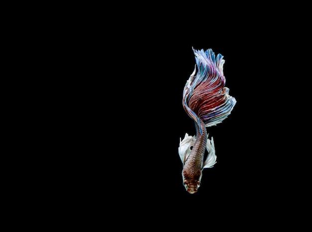 Poisson betta, poisson combattant siamois, betta splendens isolated on black