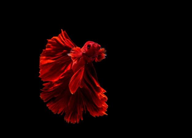 Poisson betta, poisson combattant siamois, betta splendens isolé sur fond noir