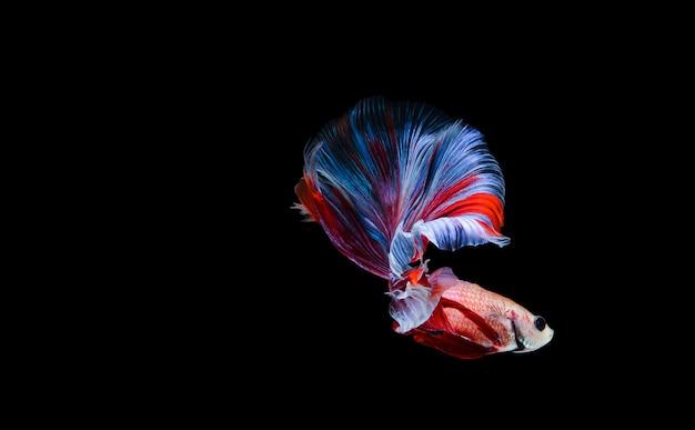 Poisson betta poisson combattant siamois betta splendens isolé sur fond noir