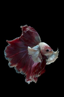 Poisson betta poisson combattant siamois sur fond noirfighting poisson betta isolé sur fond noir