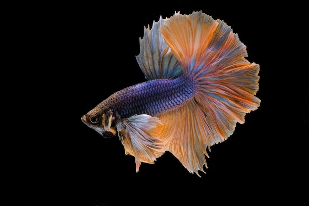 Poisson betta, poisson combattant siamois isolé sur fond noir