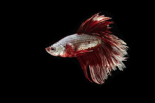 Poisson betta rouge et blanc ou poisson de combat siamois isolé, poisson de combat thaïlandais