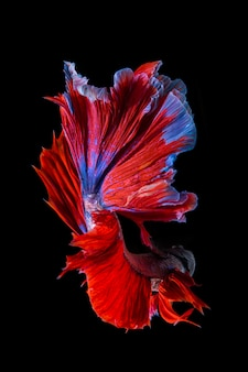 Poisson betta rouge et bleu, poisson de combat siamois