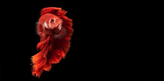 Poisson betta rouge ou poisson de combat siamois isolé, poisson de combat thaïlandais