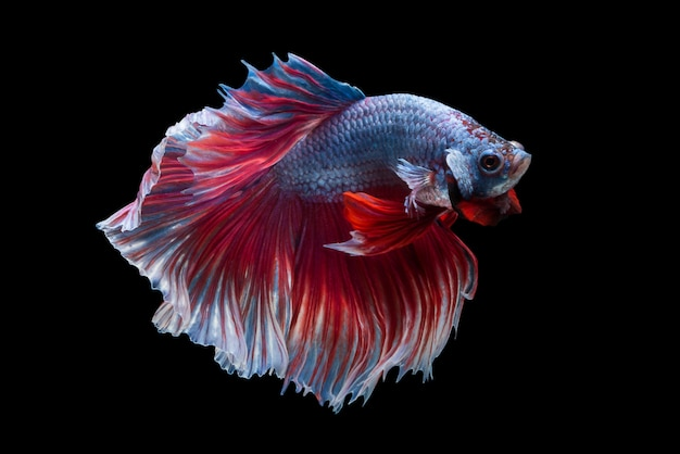 Poisson betta siam