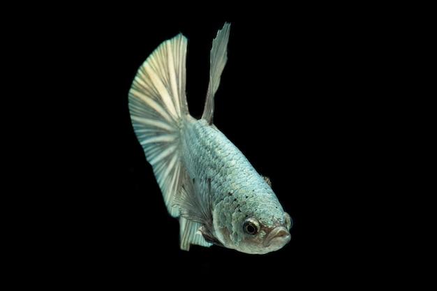 Poisson betta solide cooper halfmoon poisson de combat siamnois isolé sur noir