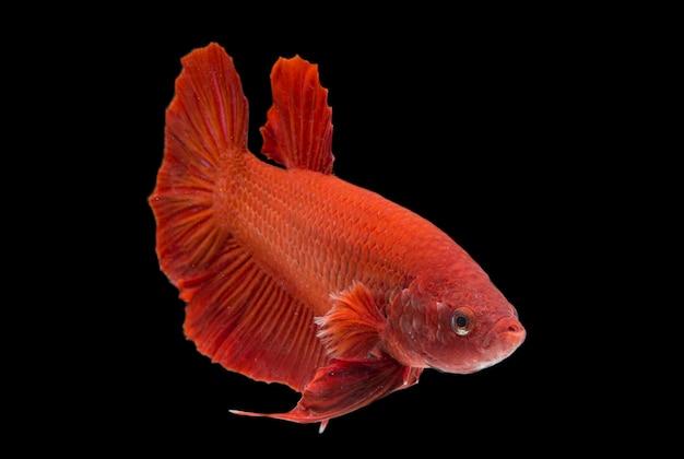 Poisson betta super rouge halfmoon poisson de combat siamnois sur fond noir